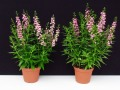 Angelonia 'Serenita Pink': Links mit EM-Strategie, rechts ohne EM-Strategie