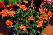 Pelargonium (Blattschmuckpelargonien) 'Brocade Fire Night', Topfen in KW 9