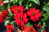 Zinnia 'Profussion Red'
