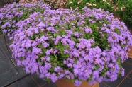 Ageratum 'Bumble Blue', Topfen in KW 11
