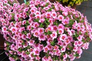 Calibrachoa 'Bloomtastic Rose Quartz', Topfen in KW 11