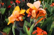 Canna generalis 'Cannova Orange Schades', Topfen in KW 11